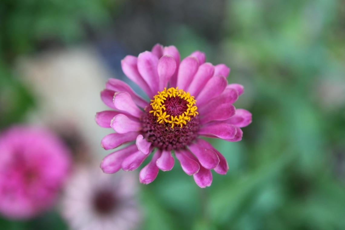 dean purple flower